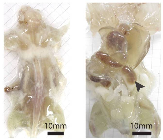 Scientists develop transparent mice that could help in fight against cancer